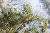 Branch Of Pine Tree At Sunny Winter Day