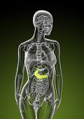 3D Render Illustration Of Female Gallbladder And Pancreas