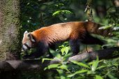 A Red Panda Walking On A Tree