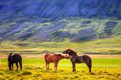 A group of Icelandic Ponies in the pasture in Iceland