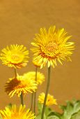 Yellow Flowers With Warm Tone Background
