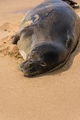 The hawaiian seal resting on the sand