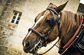 stock photo of harness  - a horse muzzle in the harness closeup - JPG