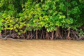 Mangroves Trees In Yellow River Water