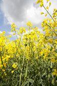 Yellow Mustard Crop