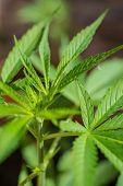 stock photo of opiate  - Farming Marijuana plants home plants - JPG