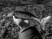 picture of caught  - Freshly caught zander in the hands of the fisherman - JPG