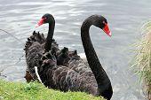 foto of black swan  - Pair of Black Swans at the side of a lake - JPG