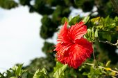 pic of rosa  - Beautiful red hibiscus rosa - JPG