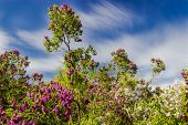 foto of lilac bush  - Garden of lilac bushes and trees against the sky with blurred clouds - JPG