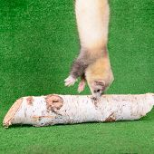 foto of ferrets  - young animal rodent ferret on a green background - JPG