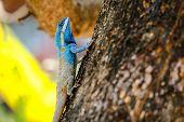 foto of fanny  - Blue lizarbeauty colorful in garden background blur - JPG
