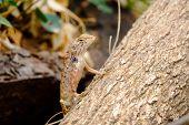 stock photo of fanny  - Brown lizard in park  - JPG