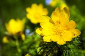 picture of adonis  - Beautiful spring yellow flowers Pheasant - JPG