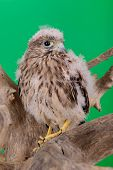 pic of hawk  - young chick hawk sitting on a wooden driftwood on a green background - JPG