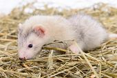 stock photo of ferrets  - small animal rodent ferret sits on dry hay - JPG