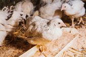 picture of hen house  - Eating hens near coop selective focus with blured background - JPG