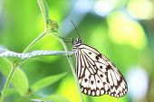 foto of butterfly  - Large Tree Nymphs butterfly and green leaf - JPG