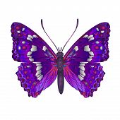 picture of butterfly  - Butterfly Apatura iris  forest butterfly vector illustration - JPG