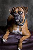 Adult Boxer Portrait