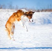 picture of snow border  - The sable border collie jumping in snow - JPG