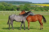 Blue roan and chestnut horses in embrace
