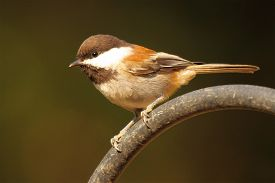 foto of chickadee  - A Chestnut - JPG