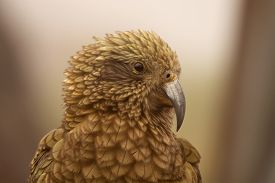 stock photo of species  - A notched view of a Kea - JPG