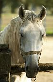 stock photo of lipizzaner  - Lipizzan horse closeup - JPG