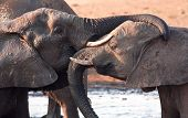 Two elephants greeting at waterhole lovingly at waterhole