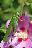 Locust (Tettigonia Viridissima)