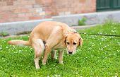 Labrador Retriever Dog Poops In The Park poster