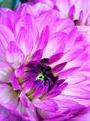 cross-process photographic reproduction/close up of pink Dahlia