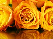 cross-process photographic reproduction yellow roses on golden surface