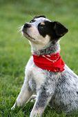 image of blue heeler  - 6 week old Blue Heeler puppy dog  - JPG