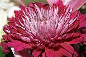 large red chrysanthemum
