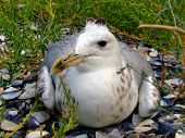 The Seagull Has A Rest On A Beach In Seaweed poster