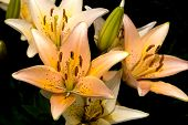 pic of asiatic lily  - Newly blooming a group of pastel Asiatic garden lilies.  - JPG