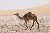 Qatari Camel