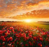 Sunrise Poppy Field. Field Full Of Wild Red Poppies poster