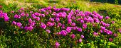 Rhododendron. Background With Flowering Of  Pink Rhododendron poster