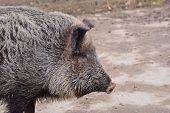The Wild Boar (sus Scrofa), Also Known As The Wild Swine, Eurasian Wild Pig, Or Simply Wild Pig poster