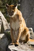 Mountain Lion Cougar Looking For Prey