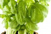 Close-Up Of A Fresh Basil Isolated On White Background