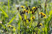 Yellow Blooming Flowers On A Green Grass. Meadow With Rural Flowers. Flowering Yellow Weed On Field. poster