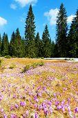 Spring Crocus in Occidental Carpathians, Romania
