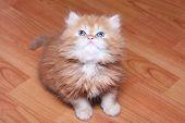 Red kitten on wooden floor.