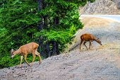 Young Deers Near The Road. Summer Wildlife Landscape With A Relaxed Wildlife In Nature. poster