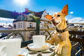 Chihuahua Dog Having A Coffee Or Tea Break On Balkony With Cup And Spoon On Table , Enjoying The Nic poster