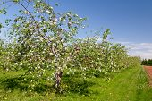 Trees blooming in an apple orchard. poster